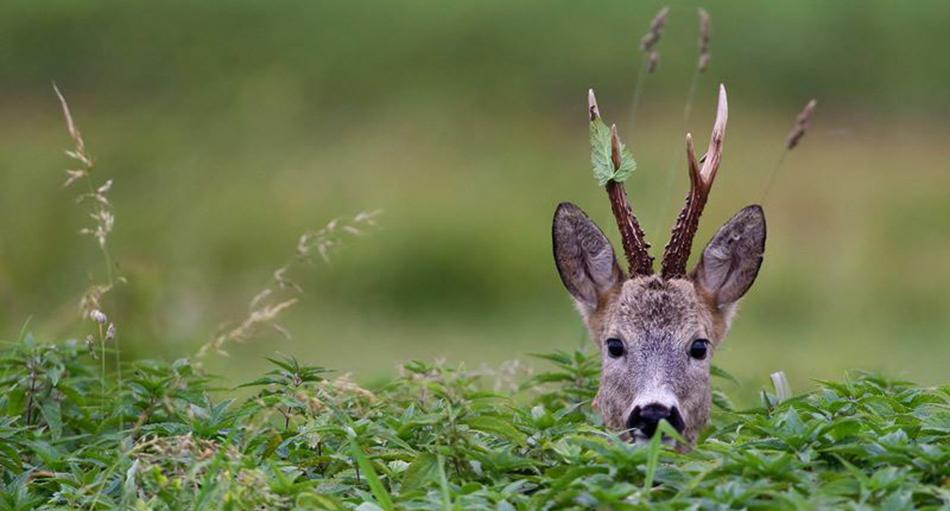 Охота на косулю с манком