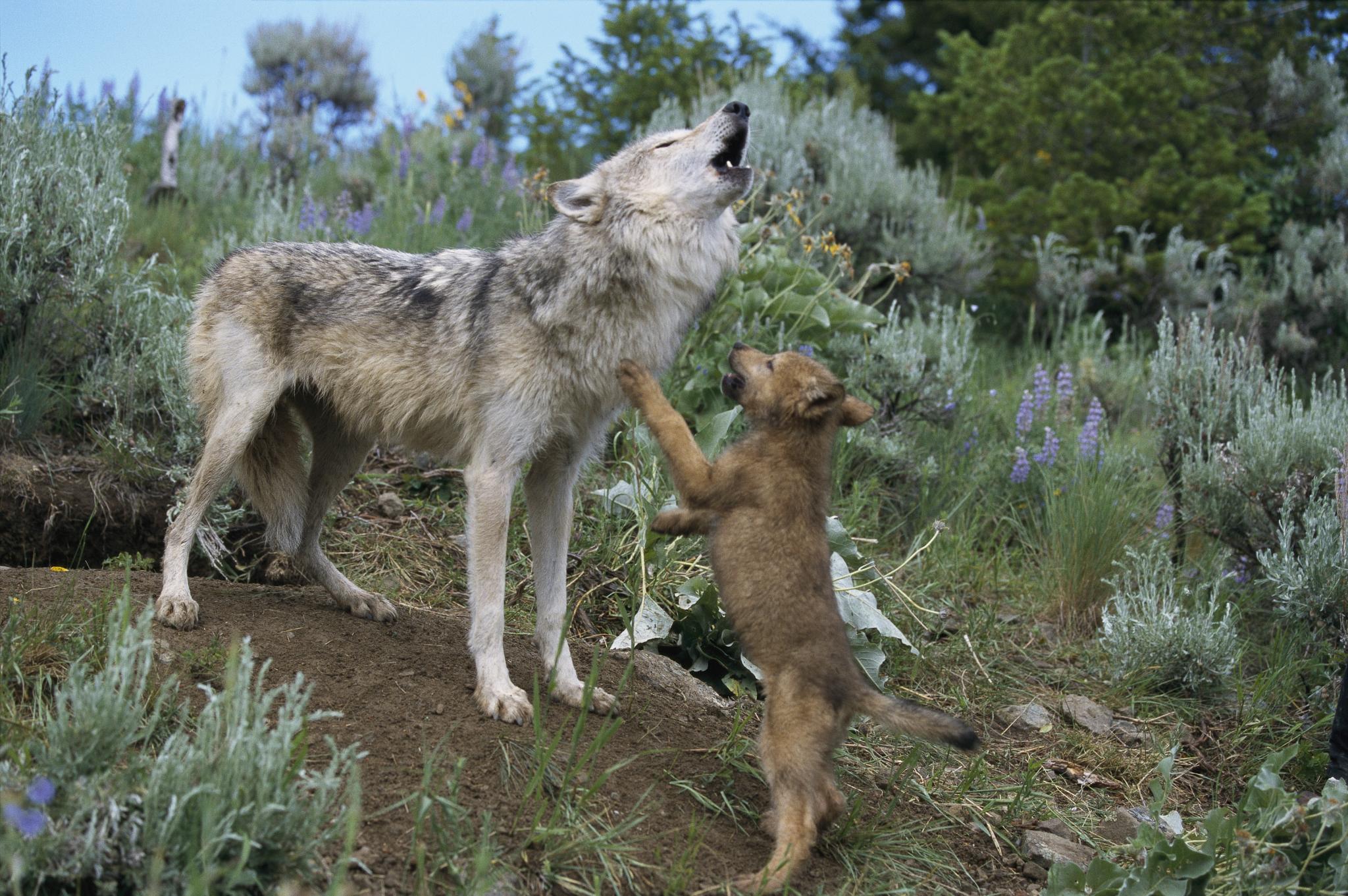 Охота на волка на вабу