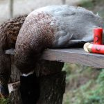 Охота с манком на утку