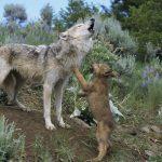 Охота с манком на волка